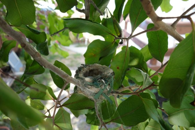 Hummingbird nest with one tiny egg